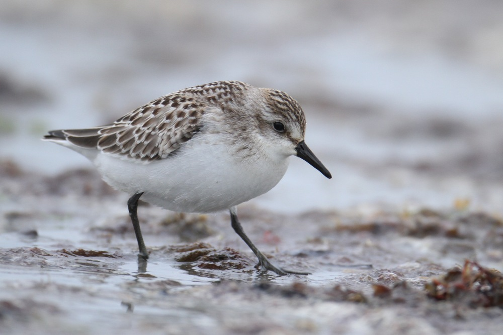 Semipalmated Sandpiper, Revere Beach, Massachusetts