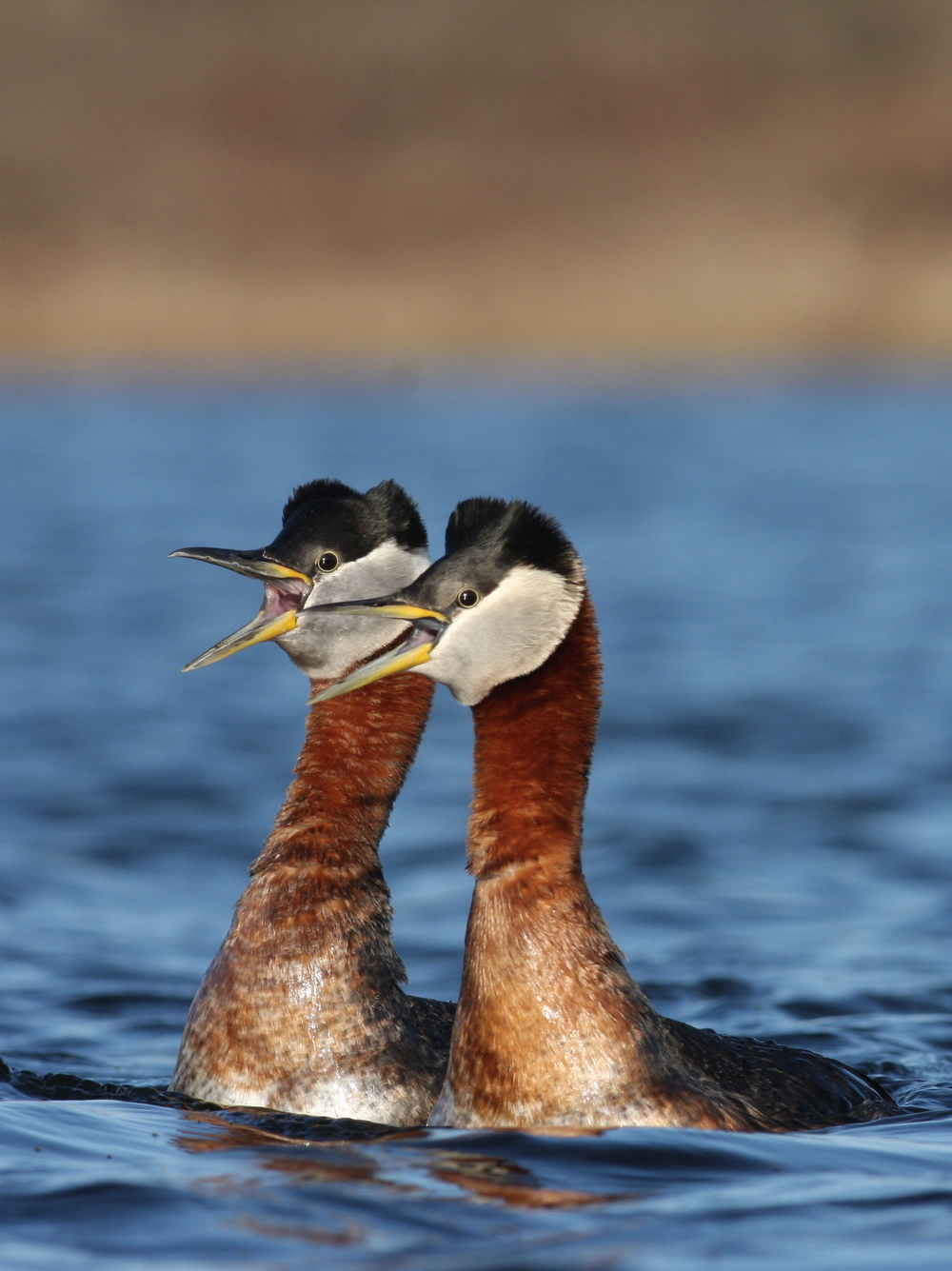 Red-necked Grebe, Nome, Alaska