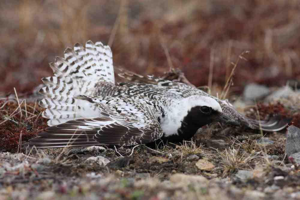 Black-bellied Plover, Nome, Alaska
