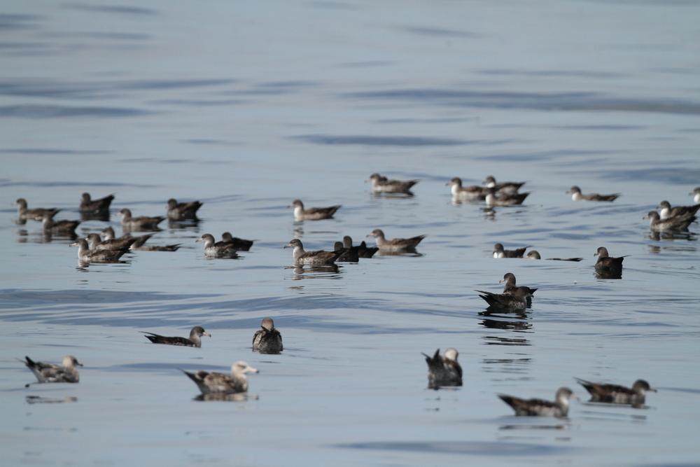 Pink-footed Shearwater, offshore of Half Moon Bay, California