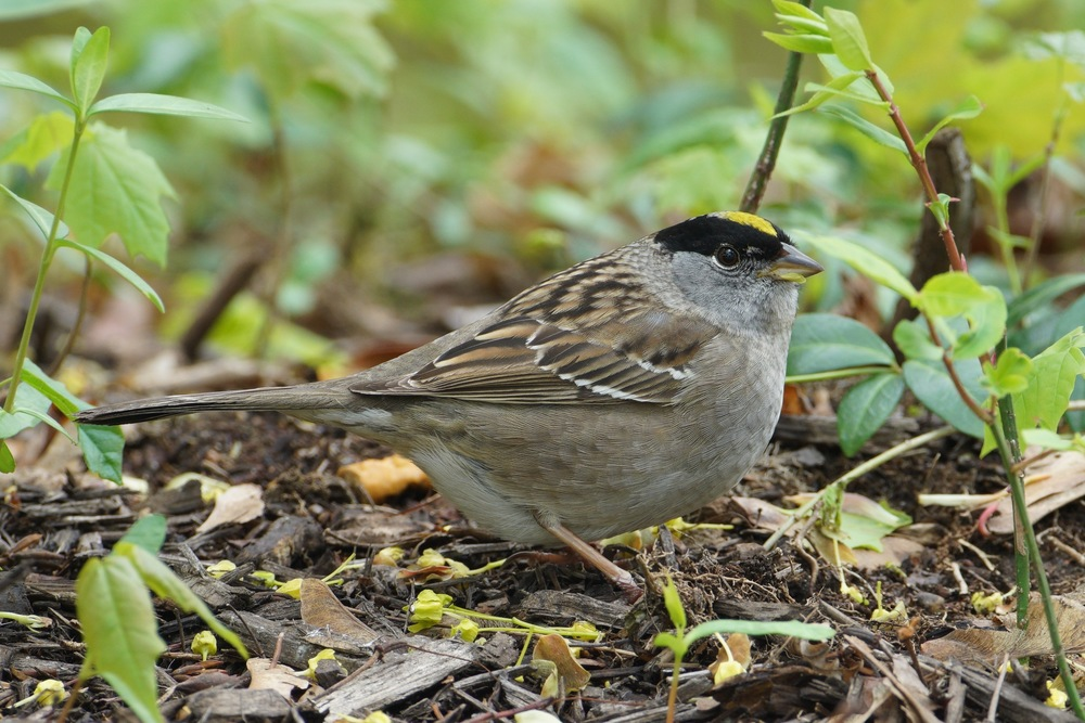 Golden-crowned Sparrow, Hingham, Massachusetts