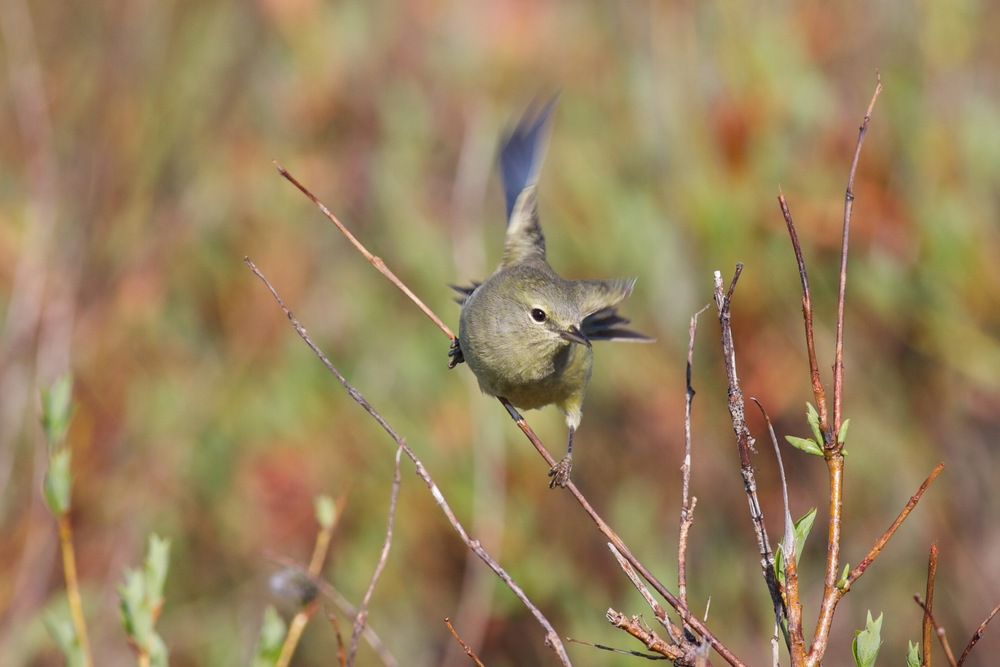 Orange-crowned Warbler, Nome, Alaska