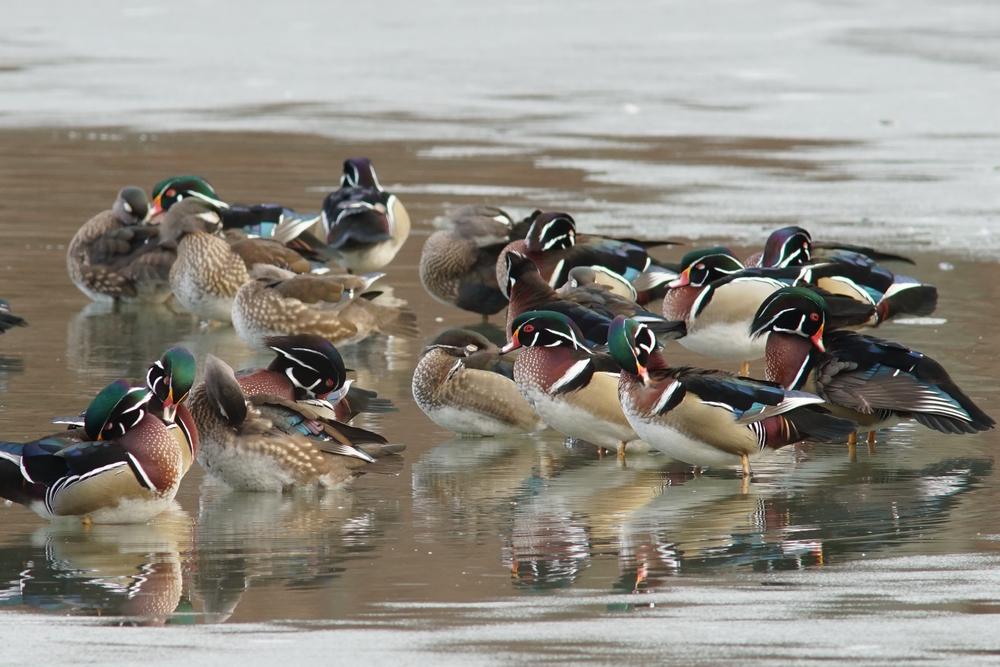 Wood Duck, Brookline, Massachusetts