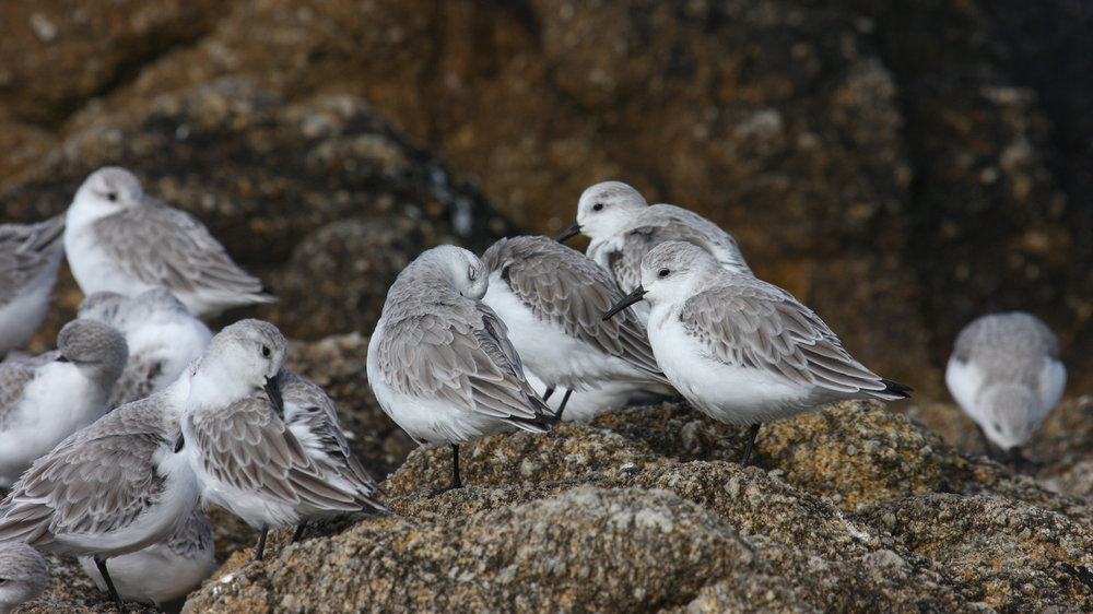 Sanderling, Monterey, California