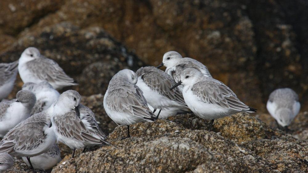 Sanderling, Monterey, California