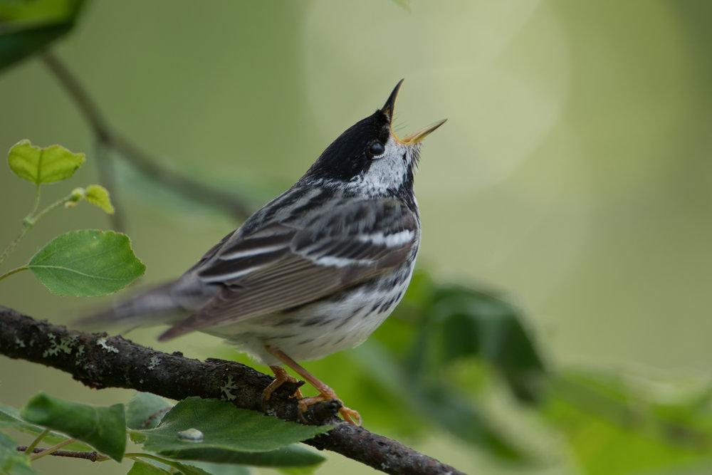 Blackpoll Warbler, Willow Creek, Alaska