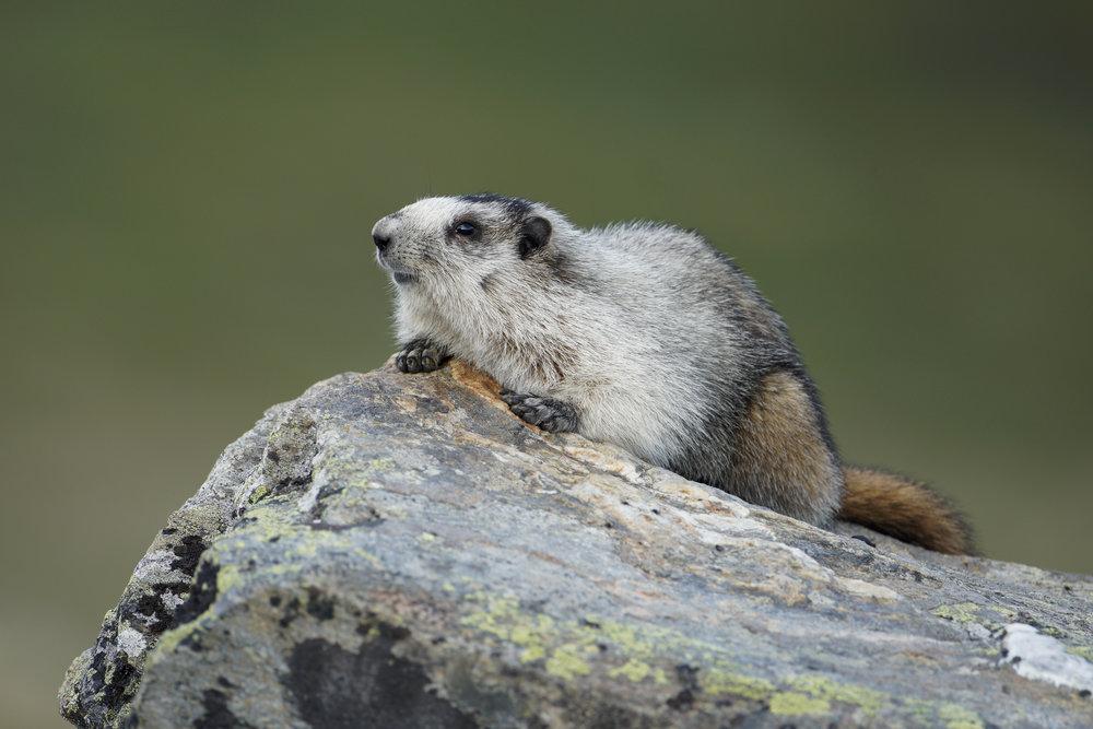 Hoary Marmot, Eagle Summit, Alaska