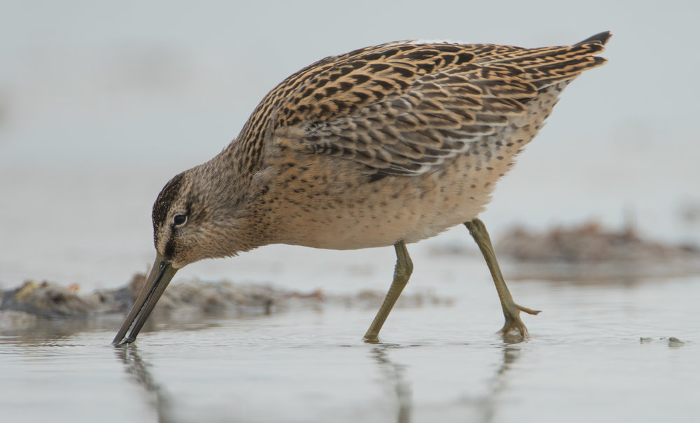 Short-billed Dowitcher, Plymouth Beach, Massachusetts