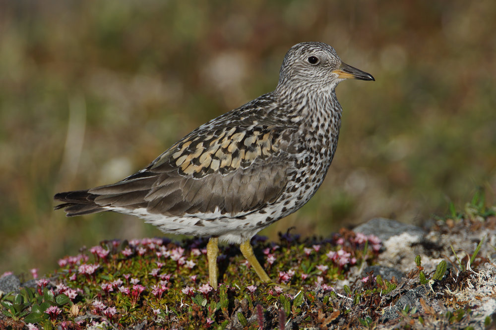 Surfbird, Council, Alaska