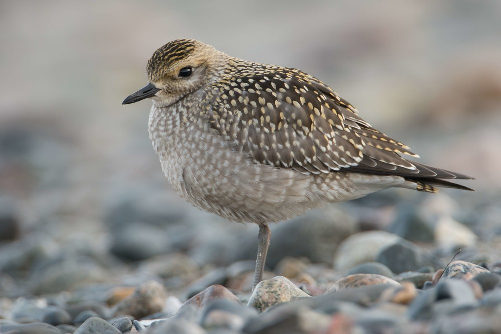 American Golden Plover, Winthrop Beach, Massachusetts