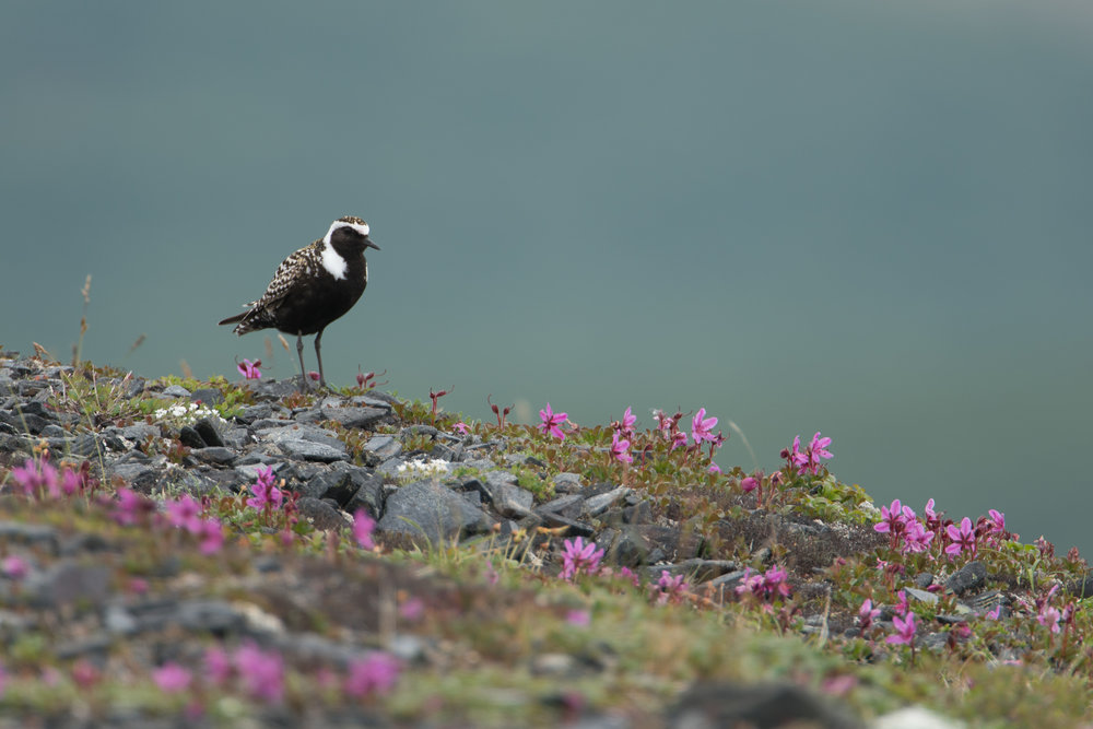 American Golden Plover, Council, Alaska