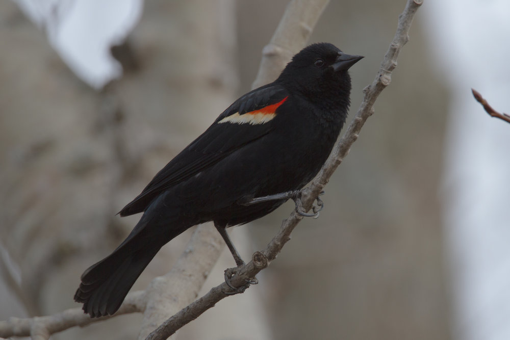Red-winged Blackbird, Ithaca, New York