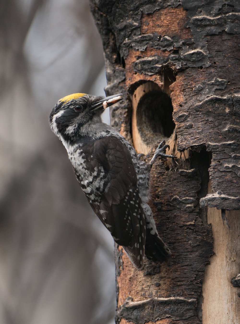 American Three-toed Woodpecker, Willow, Alaska