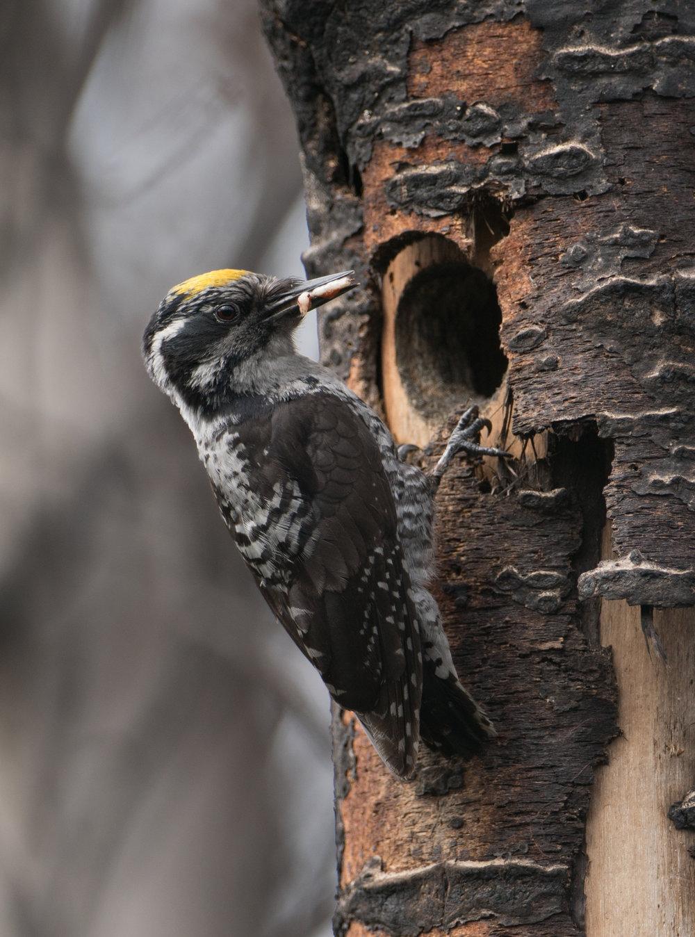 American Three-toed Woodpecker, Willow, Alaska
