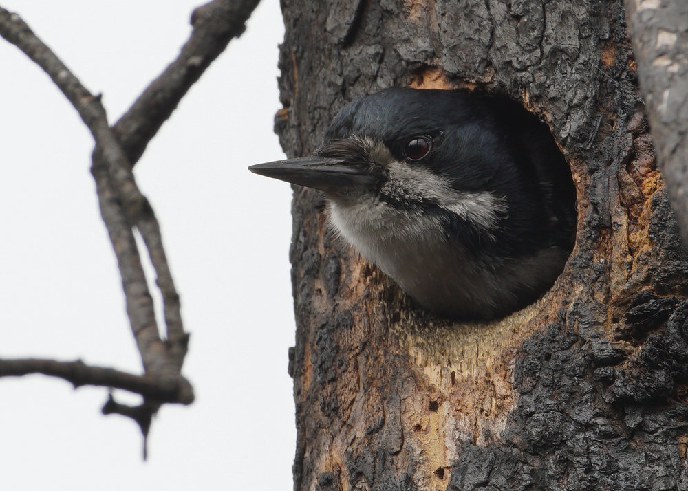 Black-backed Woodpecker, Willow, Alaska