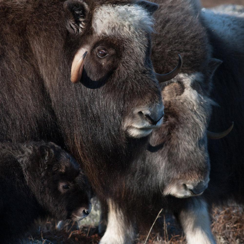Musk Oxen, Nome, Alaska