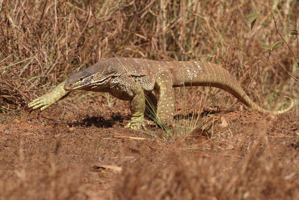Yellow-spotted Goanna, Cape York, Australia