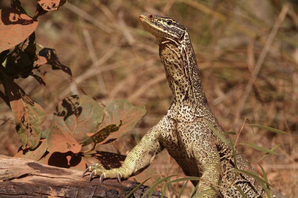Yellow-spotted Goanna, Cape York, Australia
