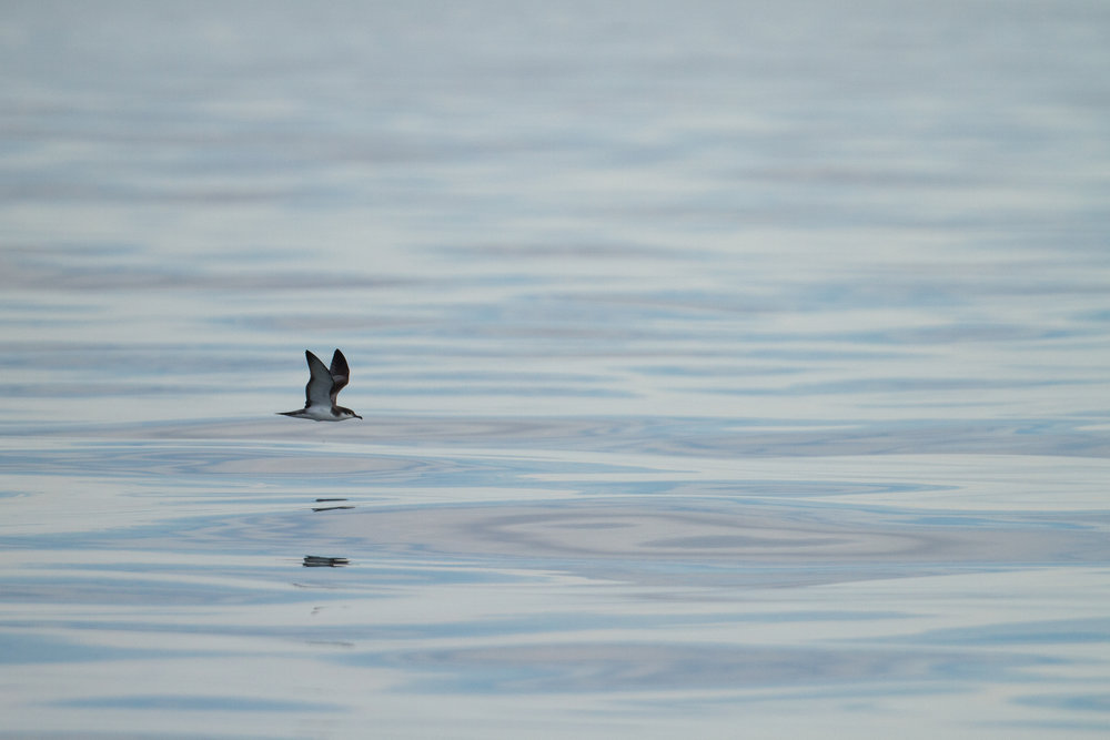 Buller's Shearwater, Half Moon Bay, California