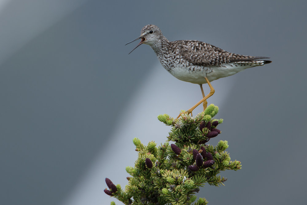 Lesser Yellowlegs, Denali Highway, Alaska