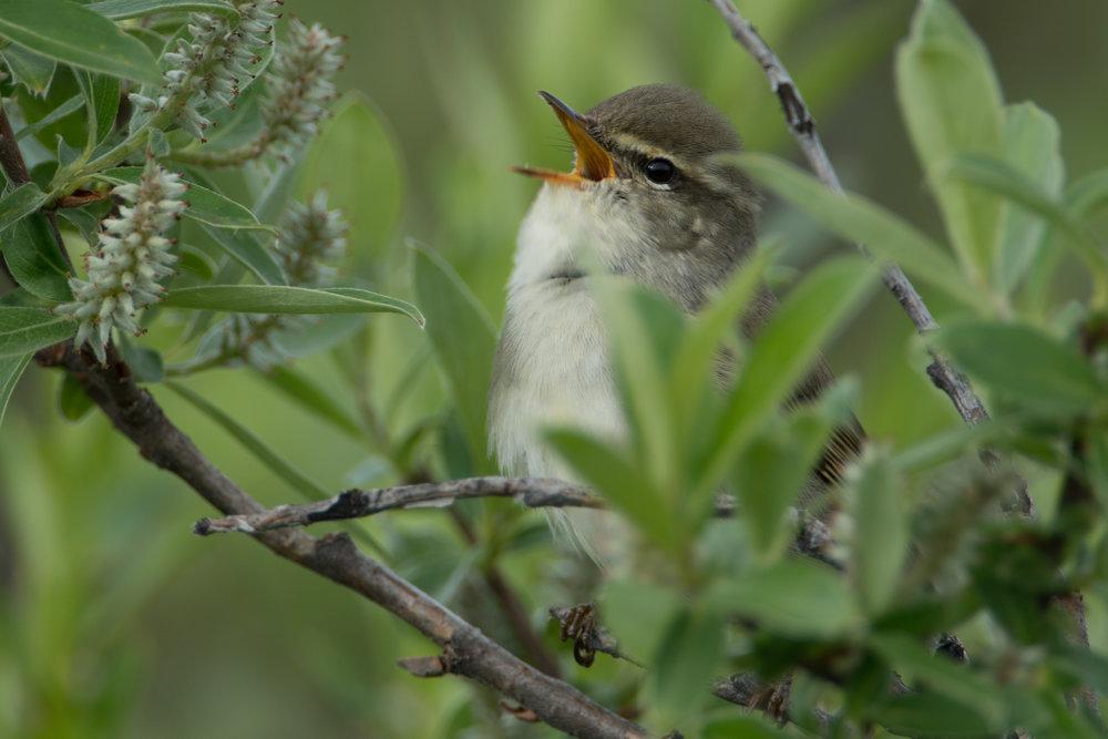Arctic Warbler, Denali Highway, Alaska