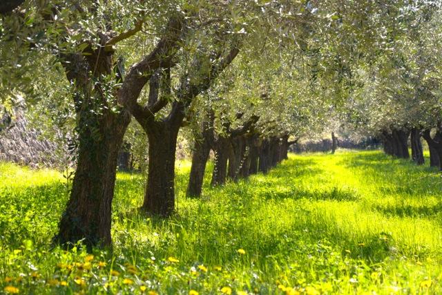 Mas Saint Antoine olive grove