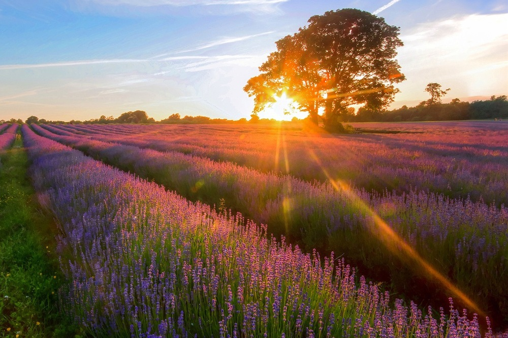 lavender-garden-of-the-sunset-jpg-486494.jpg