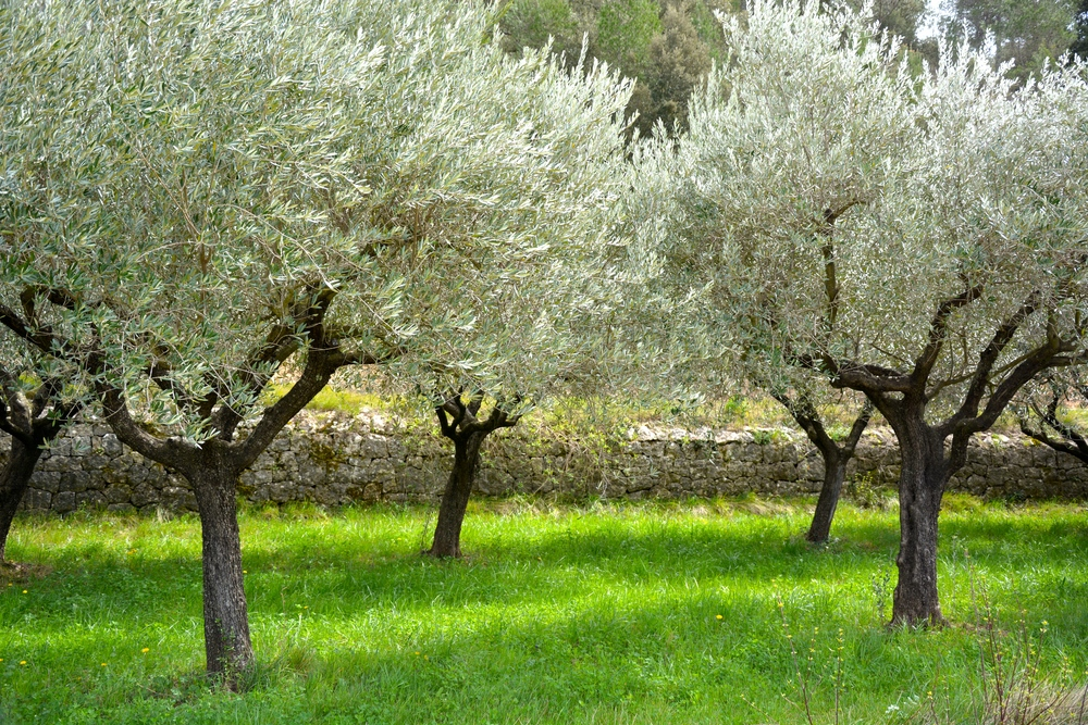 Mas Saint Antoine olive trees