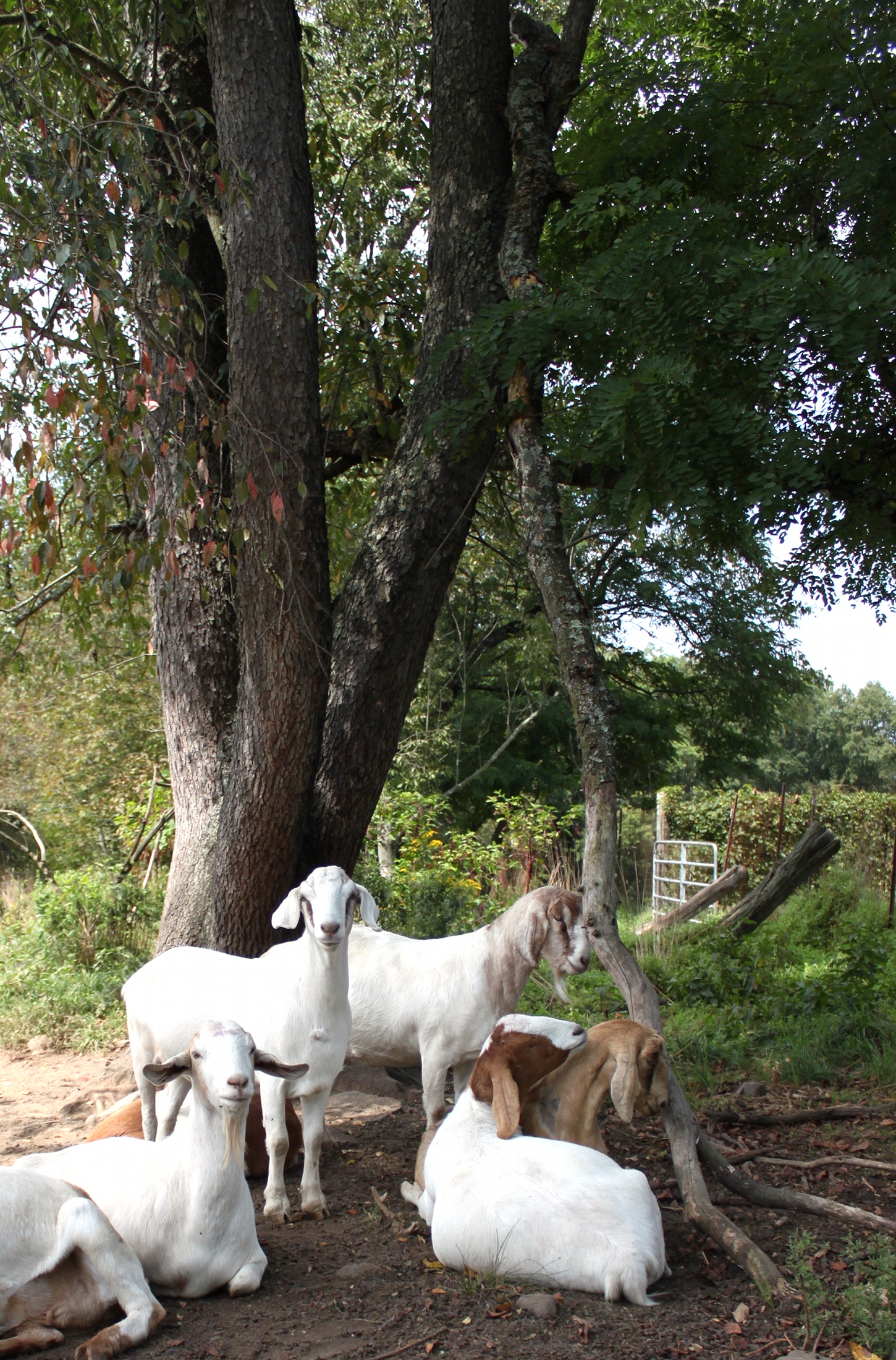 Goats and Trees