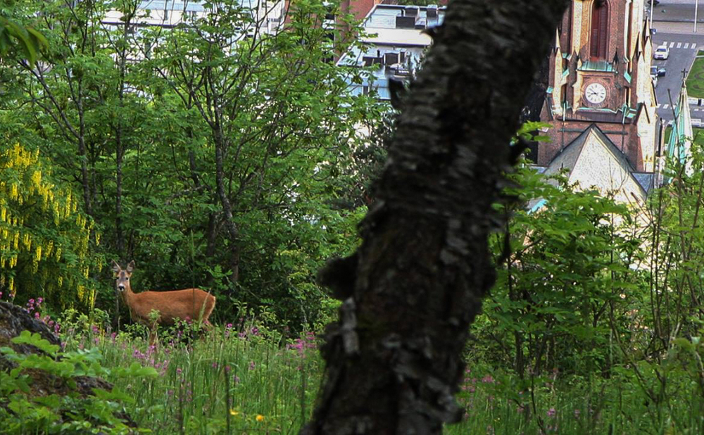 Bragernesåsen i Drammen er full av stier. Kanskje møter du noen ville dyr også.