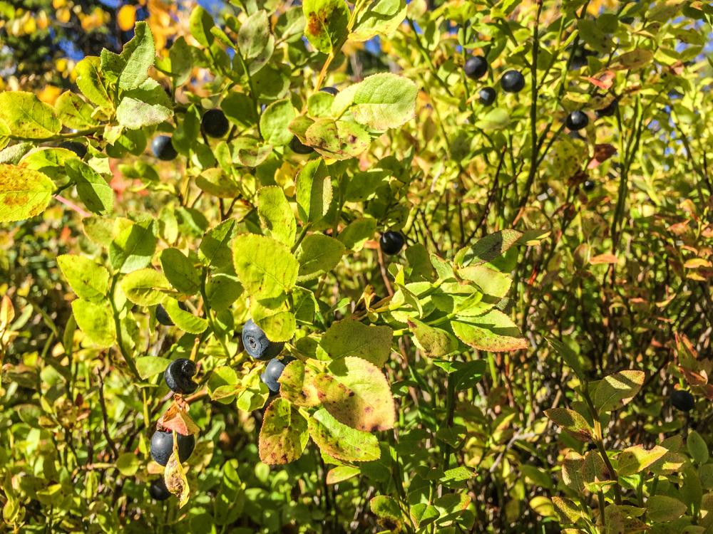 Mengden av blåbær er stor i området. Det er tid for dessert.