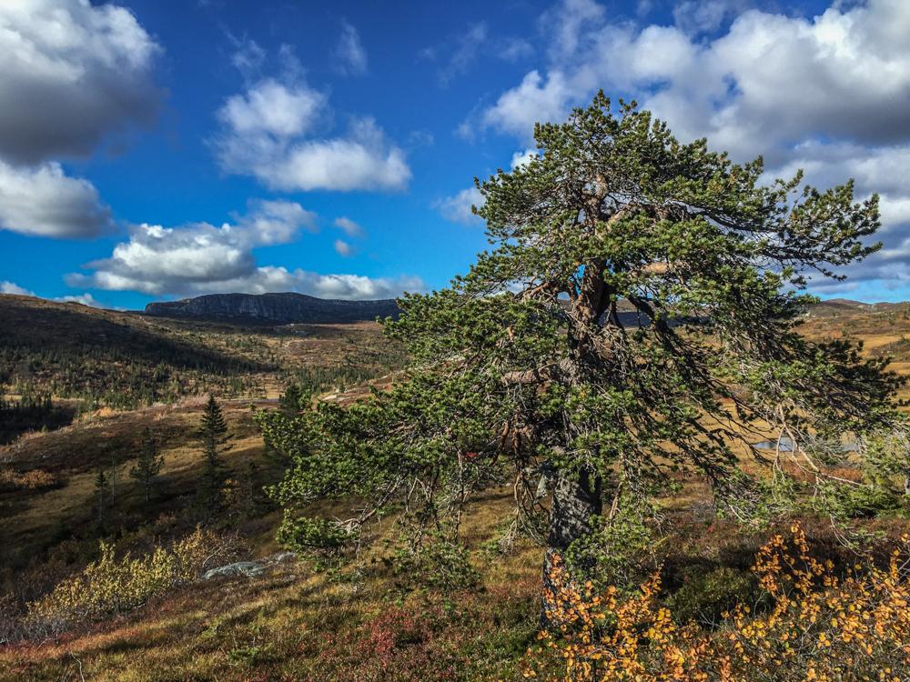 Her er det enkelt terreng å gå i utenfor stiene.I åsen du skimter i bakgrunnen venter derimot en jungel av fjellbjørk.