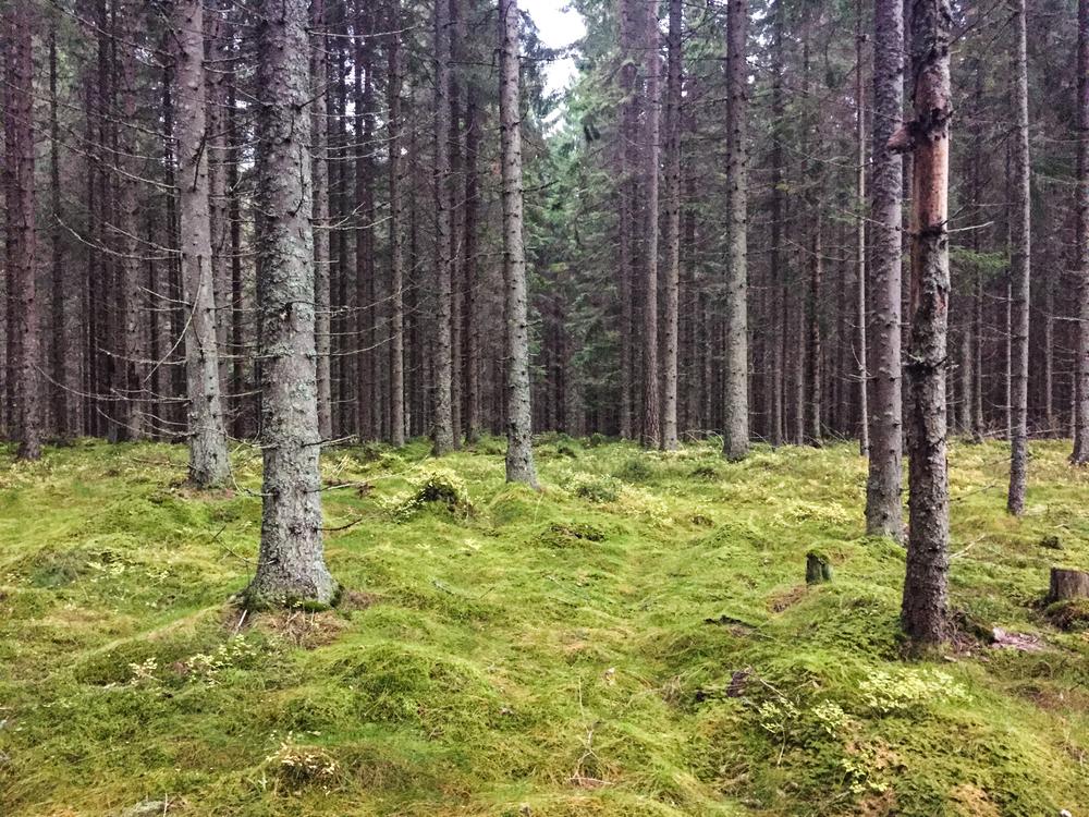 På andre siden av skinnene er det åpen skog med myk mose.