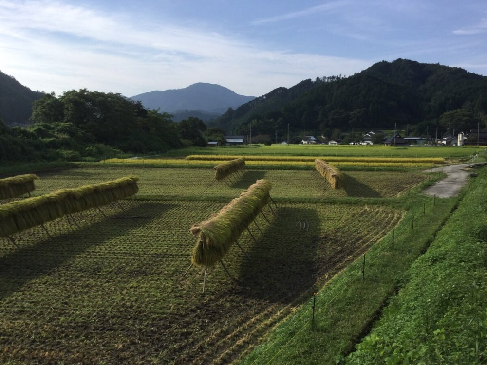 This shows the rice that was harvested yesterday drying in the sun. In two weeks it will be taken down and then the grains will be separated from the stems.