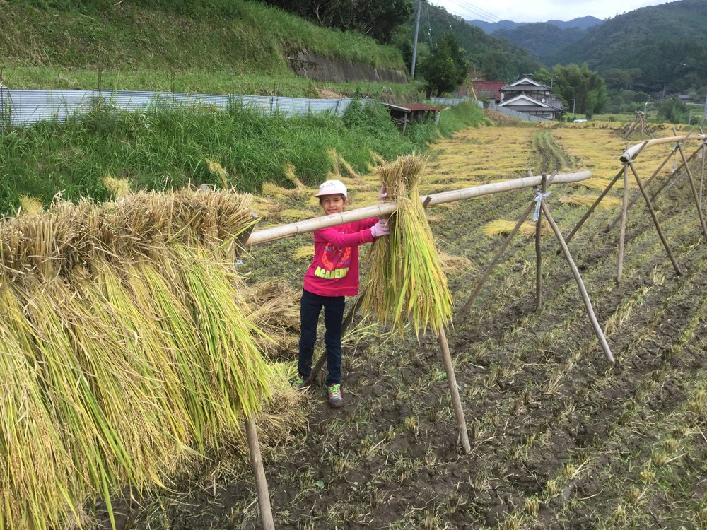 Hanging the rice to dry!