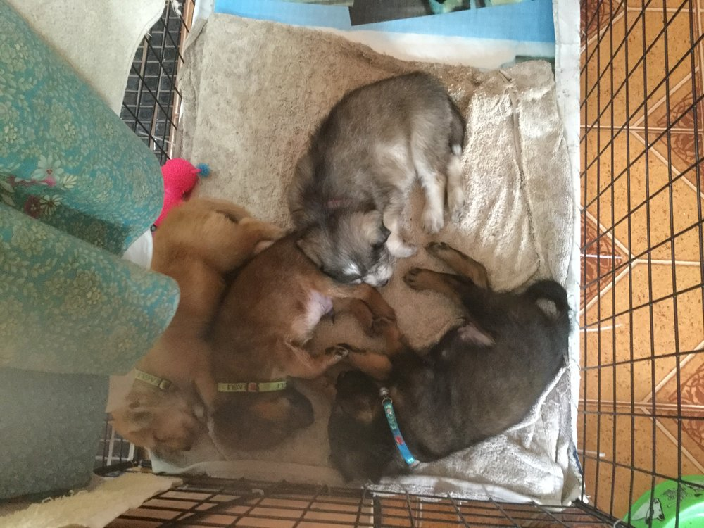 Awwww Thai puppies