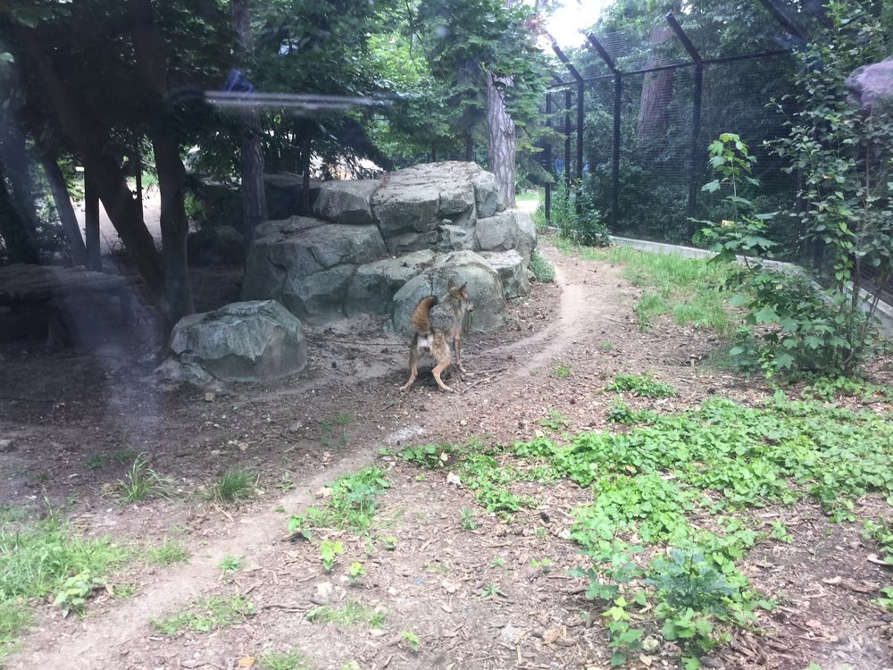 And the rarest picture of all: a wolf peeing. A noble nature call right in front of our modest eyes. Now that was a first, even for us zoo junkies.