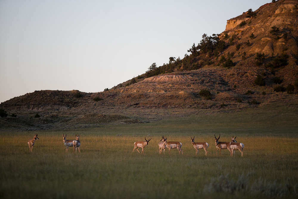 Pronghorn at Sunrise, Twin Heart Ranch 2015