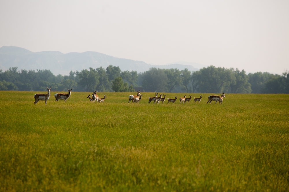 Pronghorn in Springtime 2015