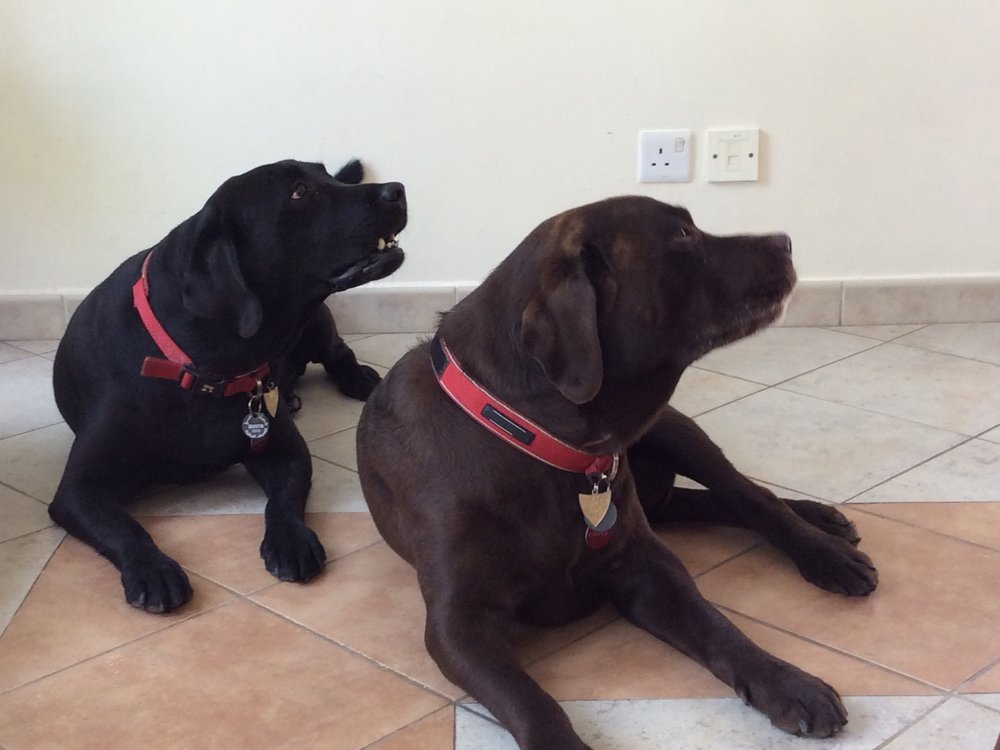 Lovable labradors in the UK