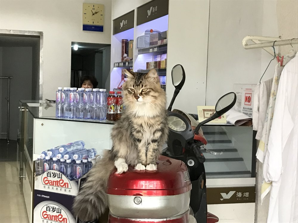 We stopped to visit this cat every day in Shanghai (the shop owner thought we were crazy)