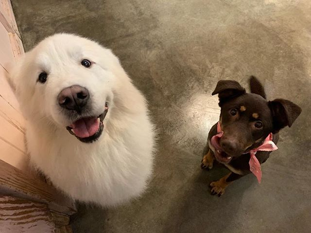 Happy Valentine's Day from Royal & Alley 🥰 Check our Facebook: Clipnclean Tacoma #clipncleantacoma #pnw #pethotel #tacoma #valentinesday2019 #greatpyrenees