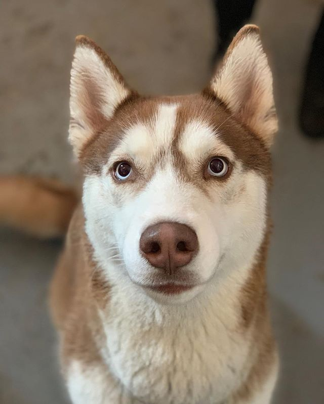 Beauty being beautiful 💅🏻 Check our Facebook: Clipnclean Tacoma #clipncleantacoma #huskypuppy #beauty #thoseeyes #pnw #doggydaycare