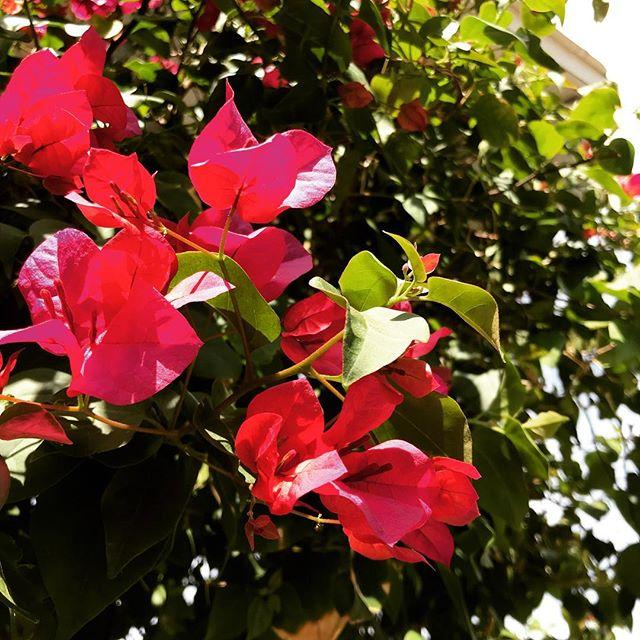 🌸 Bougainvillea Blooms 🌺 . . . #bougainvillea #blooms #flowers #flowerstagram #wanderlust #phx #phoenix #hihostel #hostellife