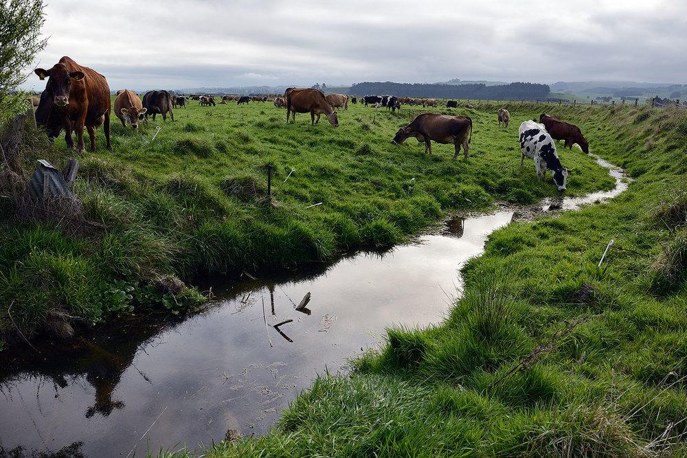 17_Dairy cows_E21256.jpg