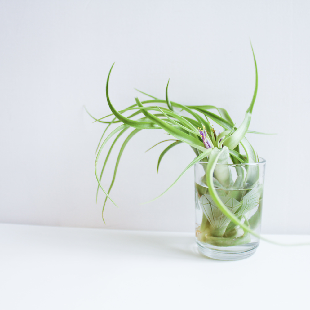 How to soak a flowering Air Plant by Handmade SamMade