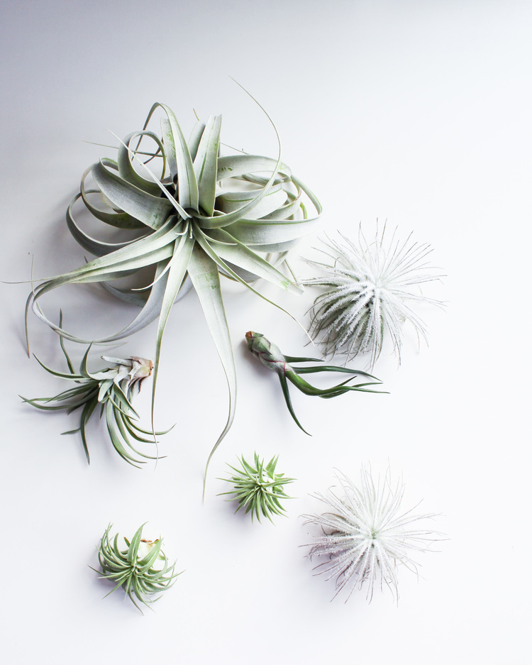 A variety of Air Plants. Clockwise from the top | Xerographica, Tectorum, Bulbosa, Tectorum, Ionantha Rubra, Velutina