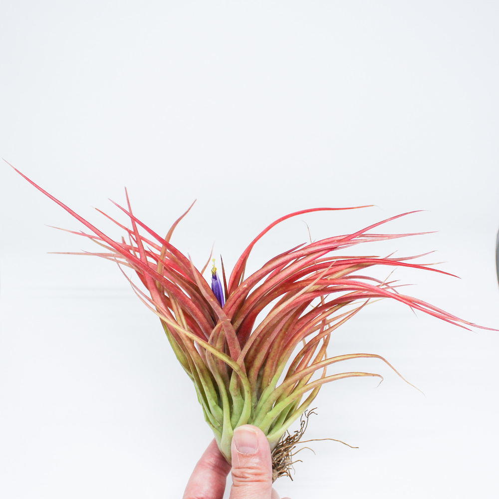 Brachycaulos Air Plants by Handmade Sam*Made