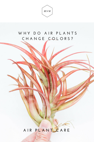 Why do Air Plants Change Colors by Handmade Sam*Made.png