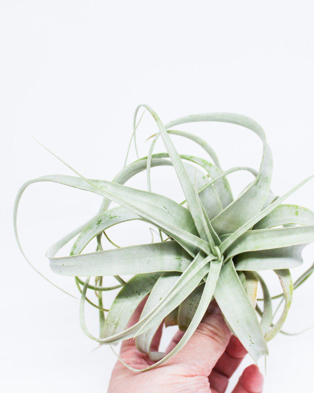 Xerographica Air Plant